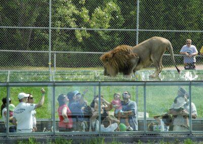 Copie de Déjeuner des lions