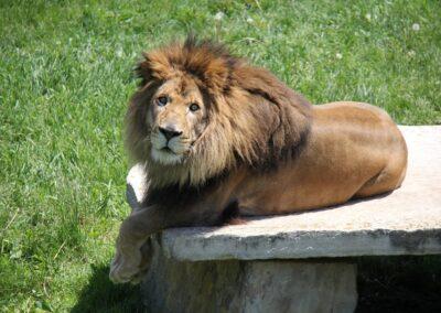 Copie de Lion
