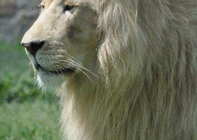 Copie de Lion Blanc