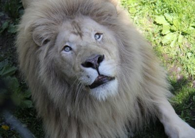 Copie de Lion Blanc(1)