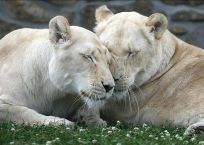 Copie de Lionnes Blanches