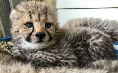 Quatre bébés guépards font le bonheur des visiteurs au Parc Safari